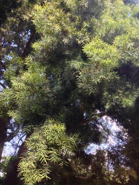 Afrocarpus gracilior (Pilg.) C.N.Page