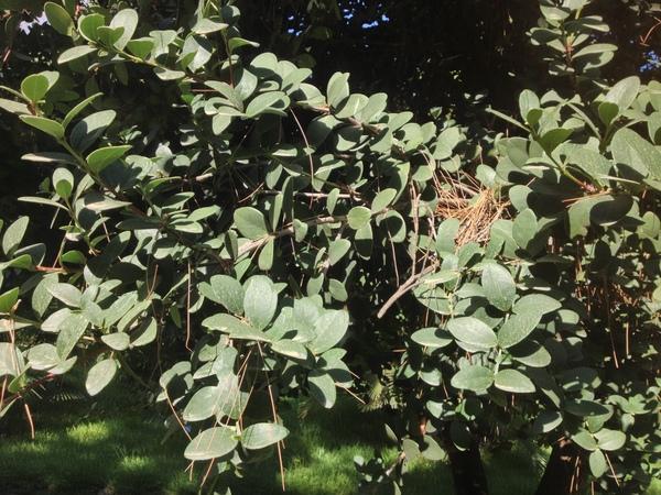 Maurocenia frangularia (L.) Mill.