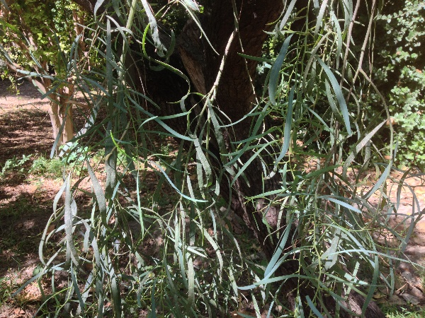 Acacia longissima Wendl.