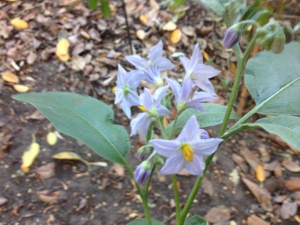 Solanum lanceifolium Jacq.