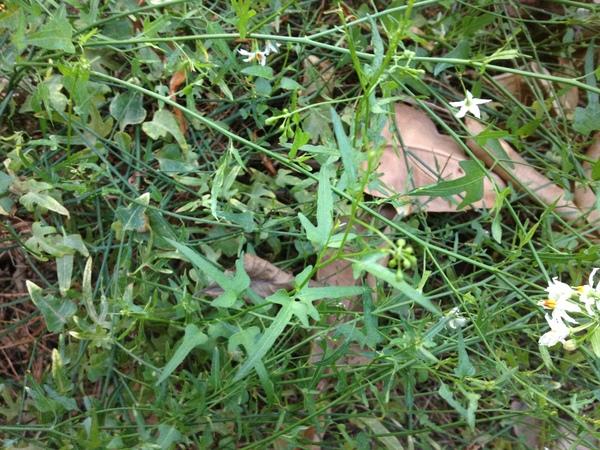 Solanum triquetrum Cav.