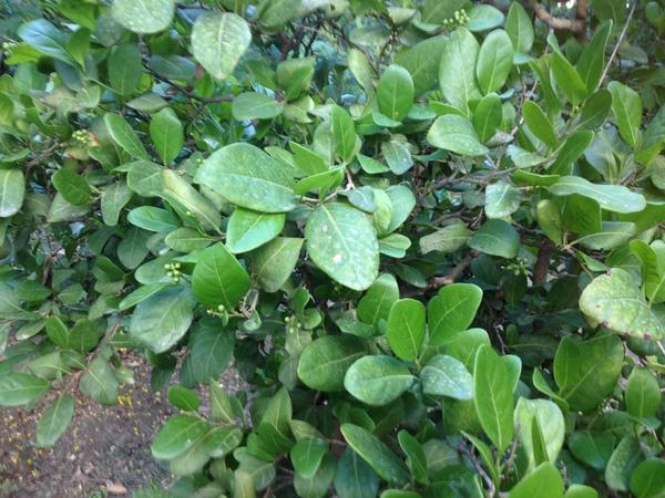Coccoloba diversifolia Jacq.