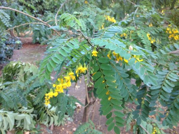 Calpurnia aurea (Ait.) Benth.