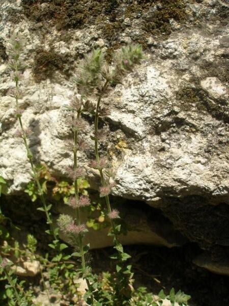 Micromeria acropolitana Halàcsy