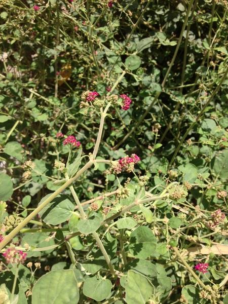 Boerhavia coccinea Mill.