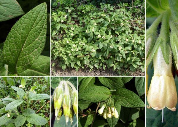 Symphytum tuberosum L. subsp. angustifolium (A.Kern.) Nyman