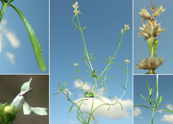 Stachys subcrenata Vis. subsp. fragilis (Vis.) Poldini