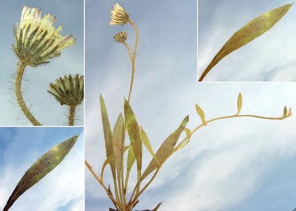 Pilosella acutifolia (Vill.) Arv.-Touv.