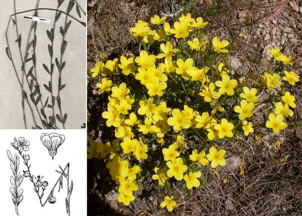 Linum maritimum L. subsp. maritimum