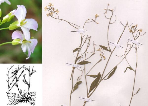 Arabidopsis arenosa (L.) Lawalrée