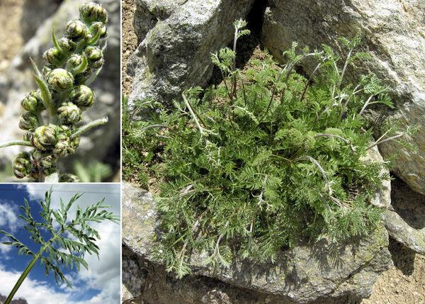 Artemisia atrata Lam.