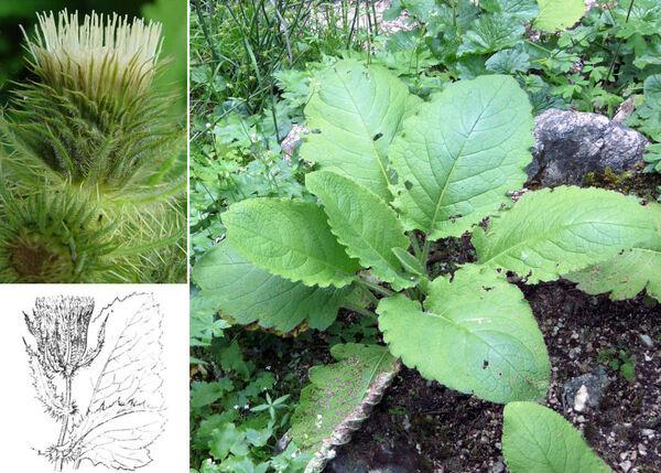 Cirsium carniolicum Scop. subsp. carniolicum