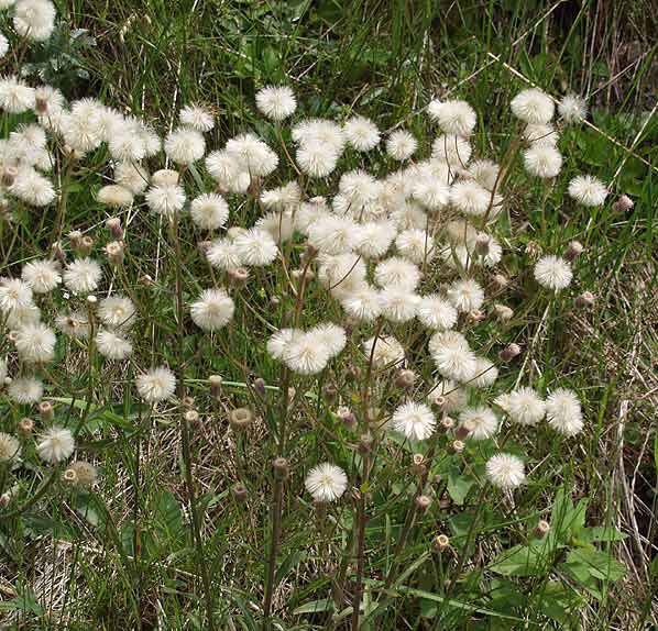 Erigeron acris L. subsp. angulosus (Gaudin) Vacc.