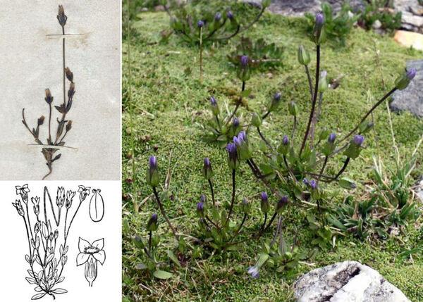 Gentianella tenella (Rottb.) Börner
