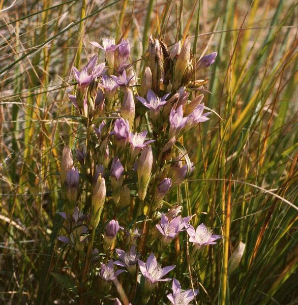 Gentianella austriaca (A.Kern. & Jos.Kern.) Holub