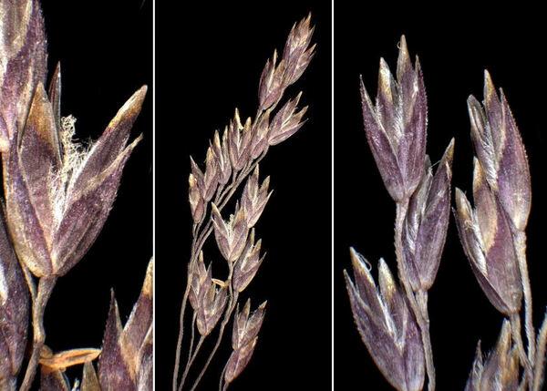 Poa glauca Vahl subsp. glauca