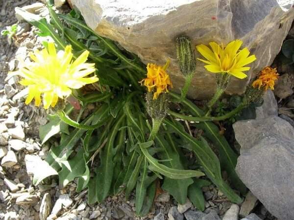Scorzoneroides montana (Lam.) Holub subsp. montana