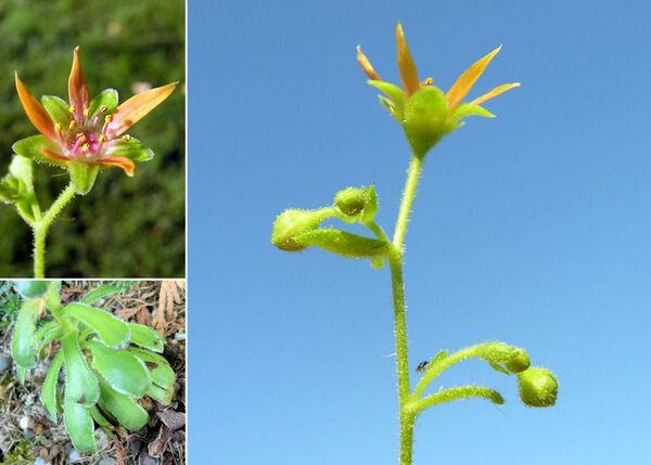 Saxifraga mutata L. subsp. mutata