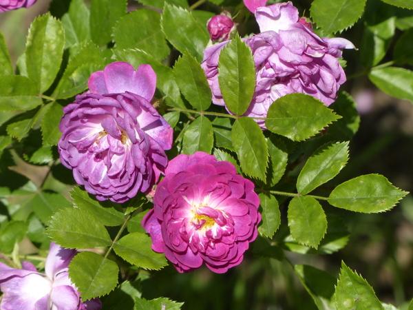 Rosa 'Taunusblümchen'