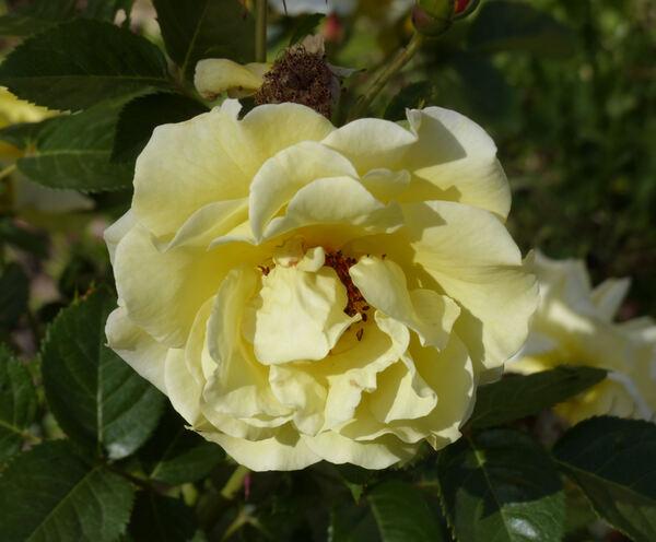 Rosa 'Vegesacker Charme'