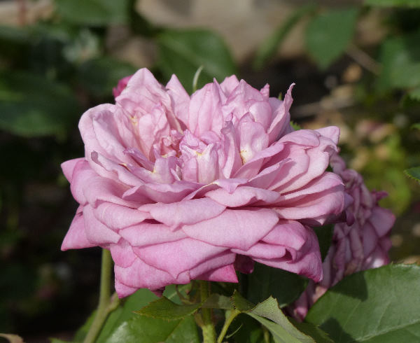 Rosa 'Amy Vanderbilt'