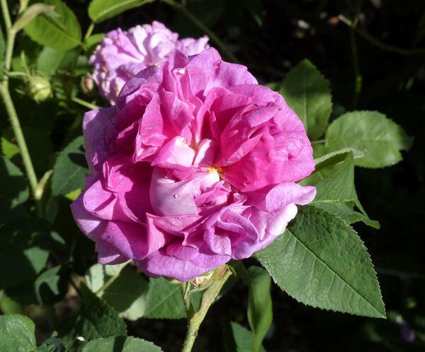Rosa 'Marie Louise'