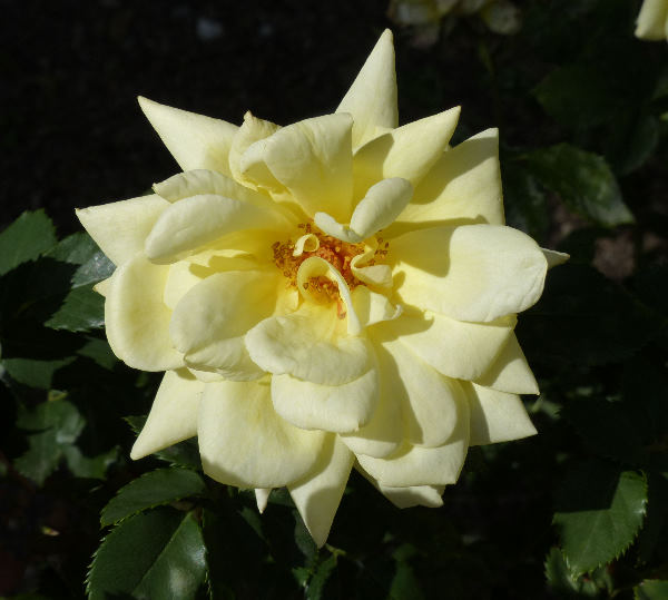Rosa 'Elegance'
