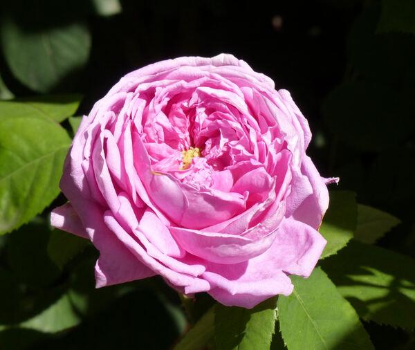 Rosa 'Perle von Weissenstein'