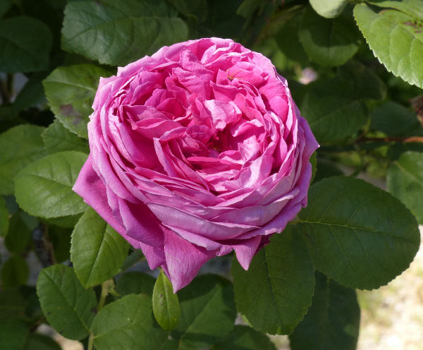 Rosa 'Les saisons d'Italie'