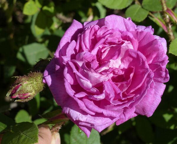 Rosa 'Maréchal Davoust'