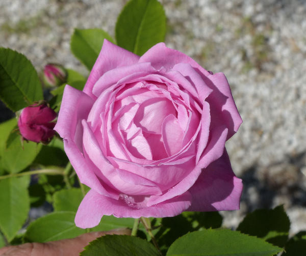 Rosa 'La Noblesse'