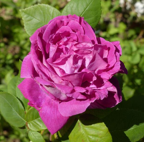 Rosa 'Baron Haussmann'