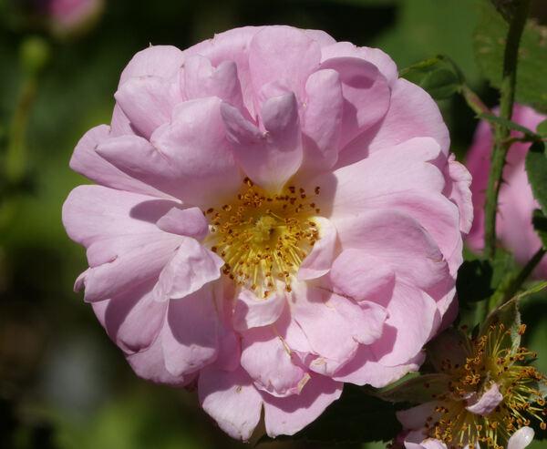 Rosa 'Belle Amour'