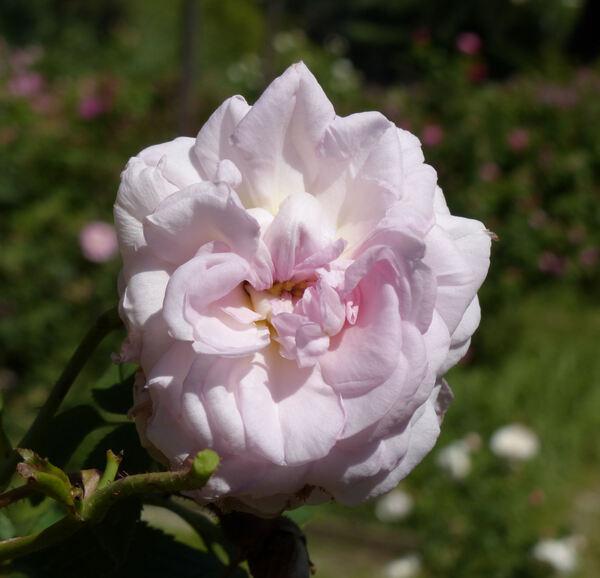 Rosa 'Chloris'