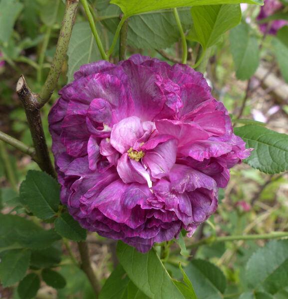 Rosa 'Marie Tudor'
