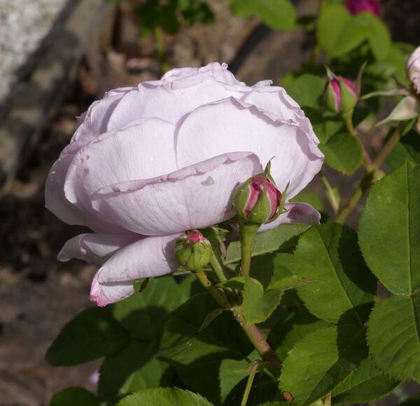Rosa 'Antonie Schürz'
