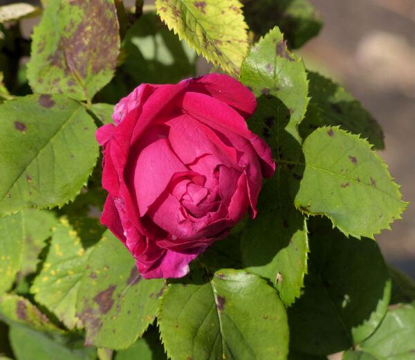 Rosa 'Olivier Metra'