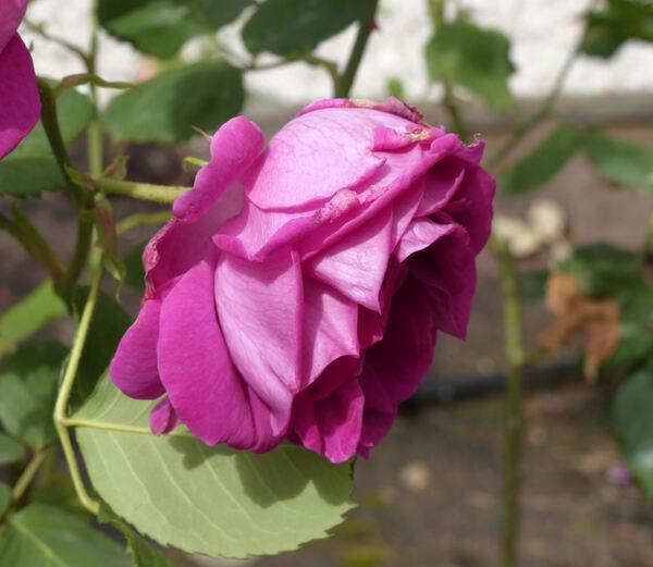 Rosa 'Prince Noir'