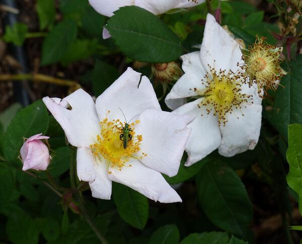 Rosa x richardii Rehder