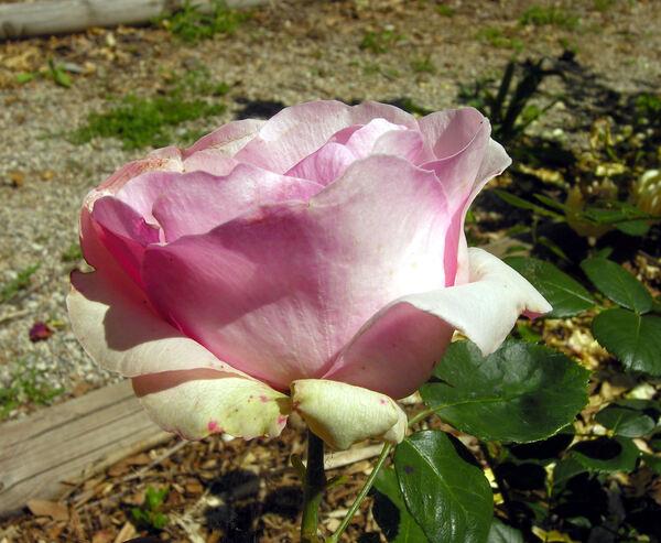 Rosa 'History ®'