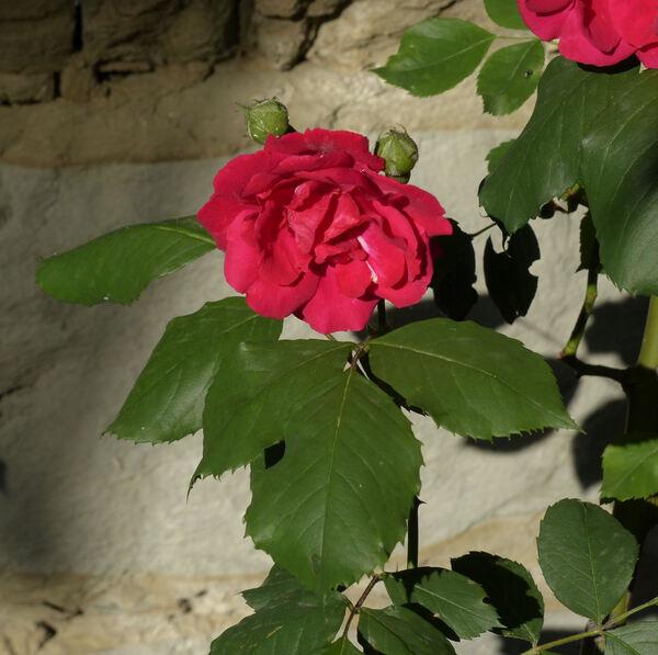 Rosa 'Blaze Superior'