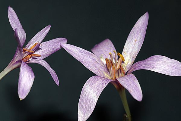 Colchicum neapolitanum (Ten.) Ten. subsp. gracile (K.Perss.) Fridl.