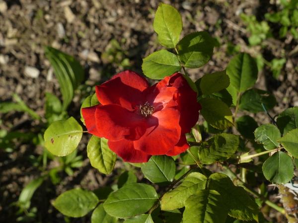 Rosa 'Bischofsstadt Paderborn'
