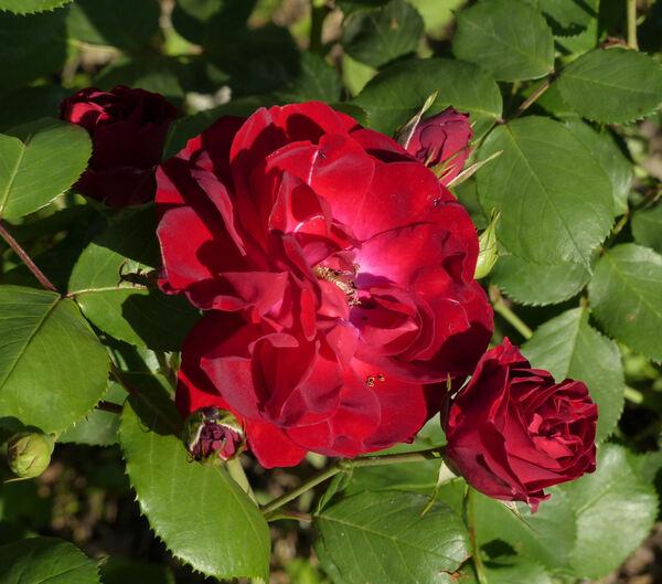 Rosa 'Dirigent ®'