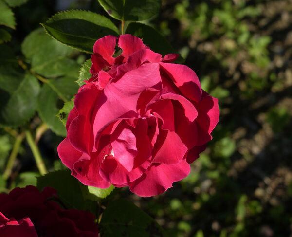 Rosa 'Prestige'