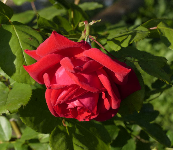 Rosa 'Mannheim ®'