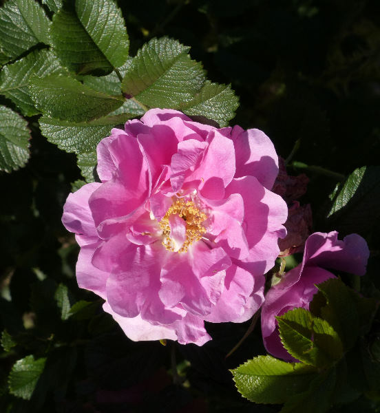 Rosa 'Jens Munk'