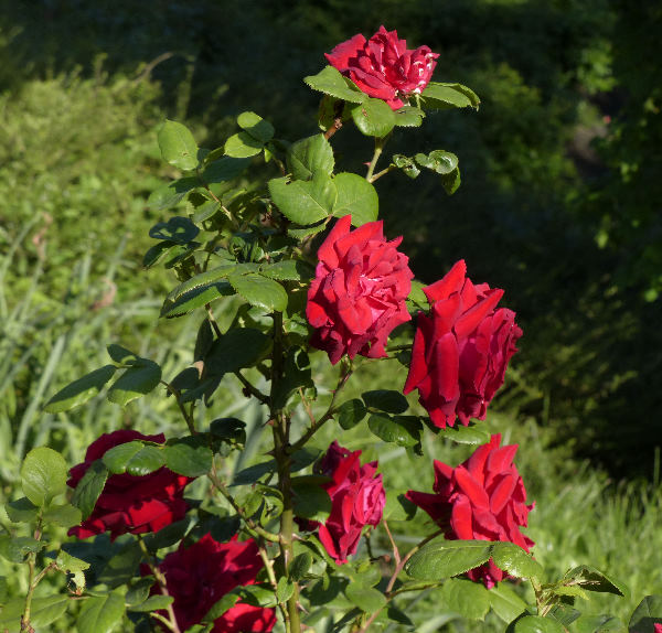 Rosa 'Uncle Walter'