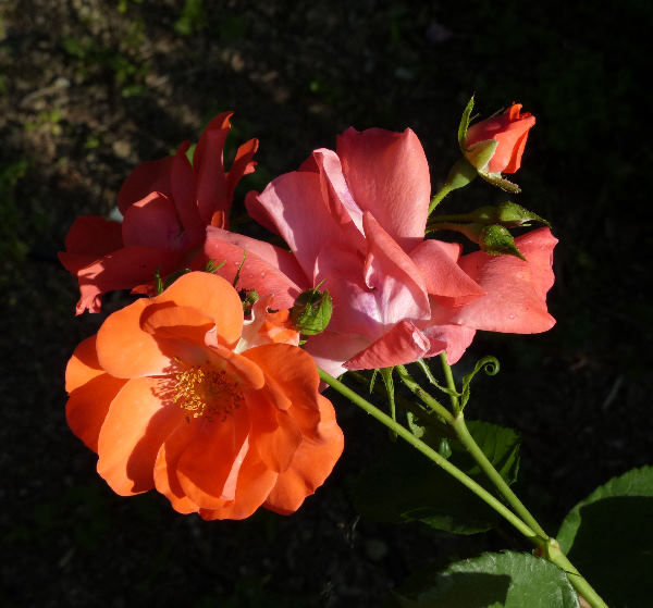 Rosa 'Fred Loads'
