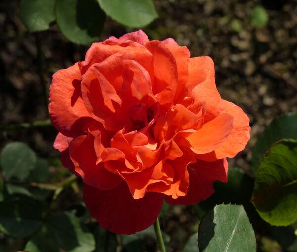 Rosa 'Belle Loire'